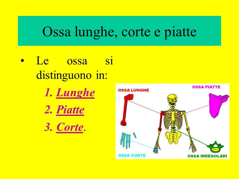 Ossa lunghe, corte e piatte Le ossa si distinguono in: 1.Lunghe 2.Piatte 3.Corte.