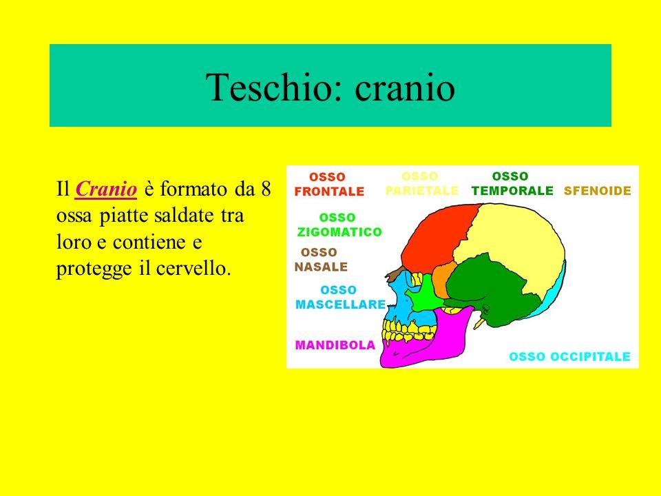 Teschio: cranio Il Cranio è formato da 8 ossa piatte saldate tra loro e contiene e protegge il cervello.