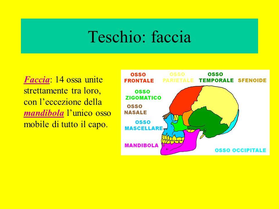 Teschio: faccia Faccia: 14 ossa unite strettamente tra loro, con leccezione della mandibola lunico osso mobile di tutto il capo.