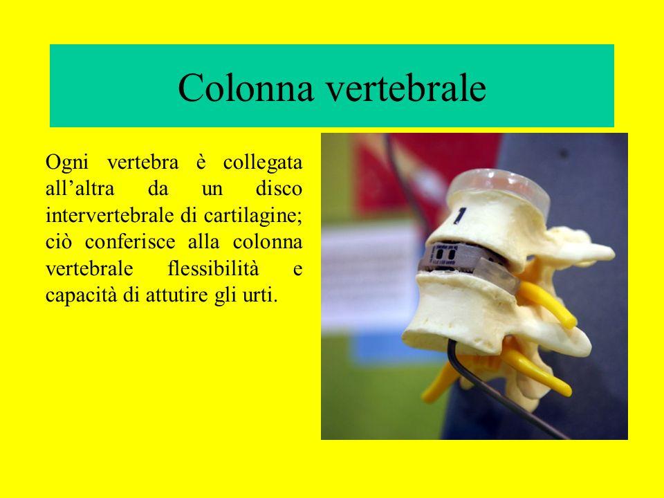 Colonna vertebrale Ogni vertebra è collegata allaltra da un disco intervertebrale di cartilagine; ciò conferisce alla colonna vertebrale flessibilità