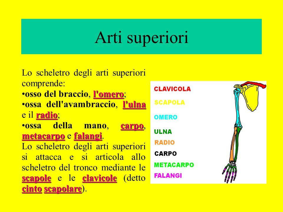 Arti superiori Lo scheletro degli arti superiori comprende: l'omeroosso del braccio, l'omero; l'ulna radioossa dell'avambraccio, l'ulna e il radio; ca