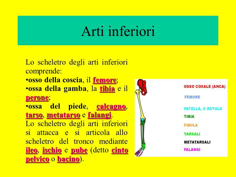 Arti inferiori Lo scheletro degli arti inferiori comprende: femoreosso della coscia, il femore; tibia peroneossa della gamba, la tibia e il perone; ca