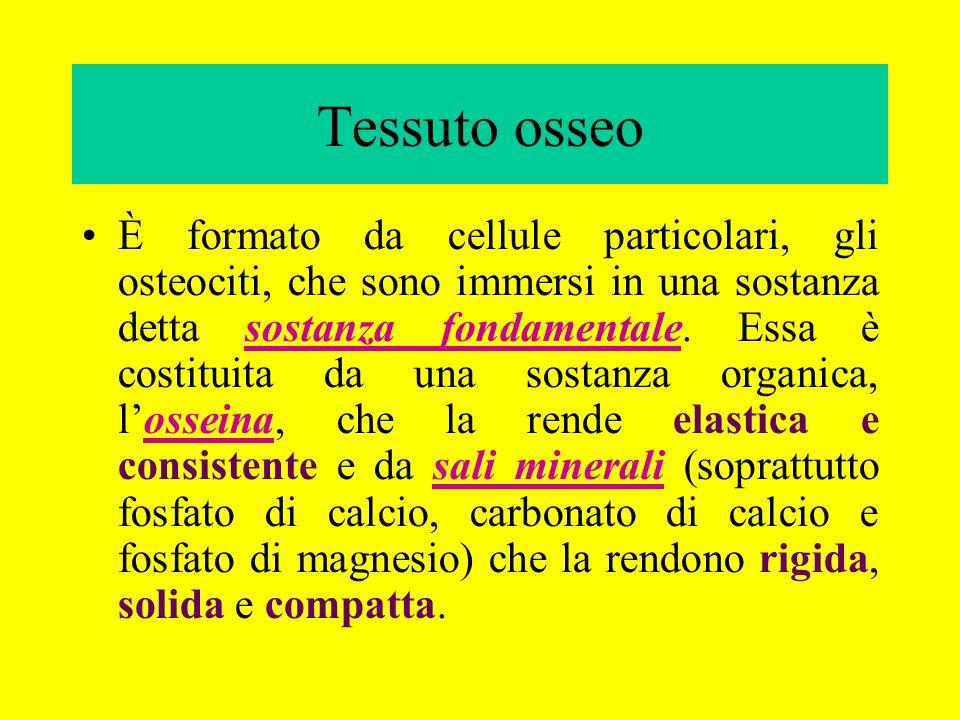 Tessuto osseo È formato da cellule particolari, gli osteociti, che sono immersi in una sostanza detta sostanza fondamentale. Essa è costituita da una