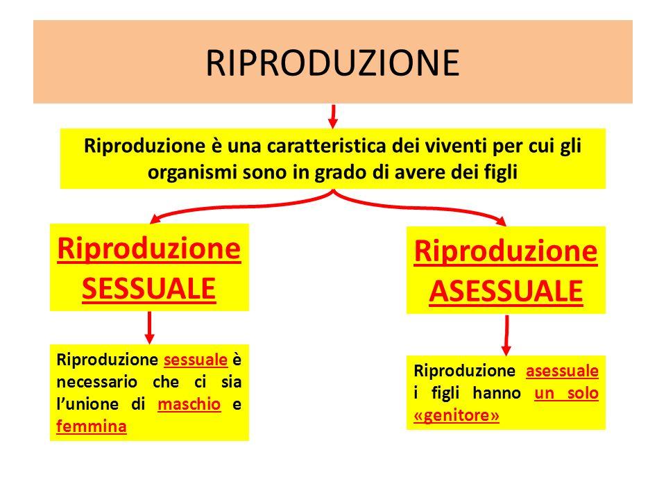 RIPRODUZIONE Riproduzione SESSUALE Riproduzione è una caratteristica dei viventi per cui gli organismi sono in grado di avere dei figli Riproduzione A
