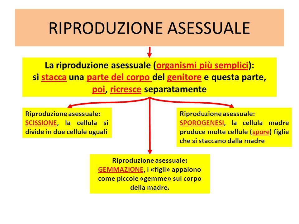 RIPRODUZIONE ASESSUALE Riproduzione asessuale: SCISSIONE, la cellula si divide in due cellule uguali La riproduzione asessuale (organismi più semplici
