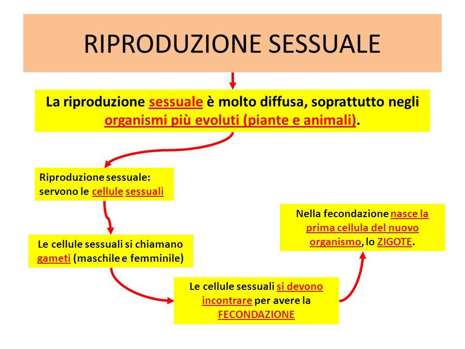 RIPRODUZIONE SESSUALE Riproduzione sessuale: servono le cellule sessuali La riproduzione sessuale è molto diffusa, soprattutto negli organismi più evo