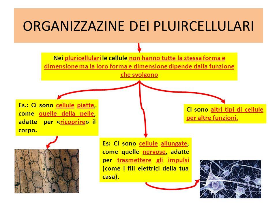 ORGANIZZAZINE DEI PLUIRCELLULARI Es.: Ci sono cellule piatte, come quelle della pelle, adatte per «ricoprire» il corpo. Nei pluricellulari le cellule