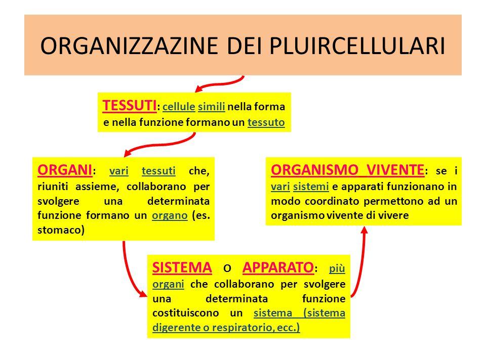 ORGANIZZAZINE DEI PLUIRCELLULARI ORGANI : vari tessuti che, riuniti assieme, collaborano per svolgere una determinata funzione formano un organo (es.