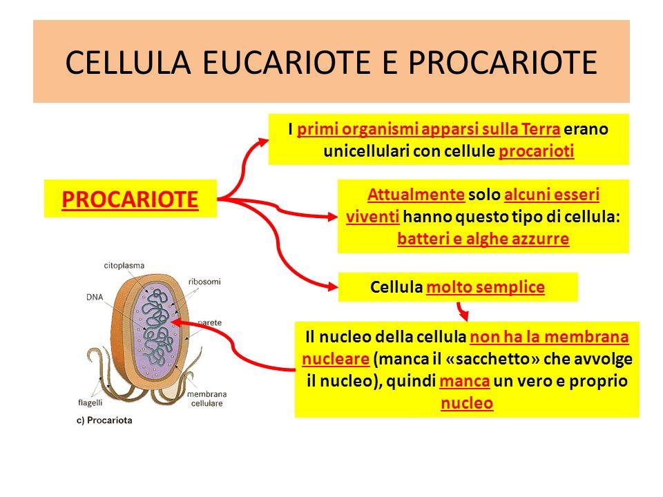 CELLULA EUCARIOTE E PROCARIOTE EUCARIOTE Cellula più evoluta Cellula più complessa Cellula con membrana nucleare Cellula presente in quasi tutti gli esseri viventi: animali, vegetali, funghi e protisti