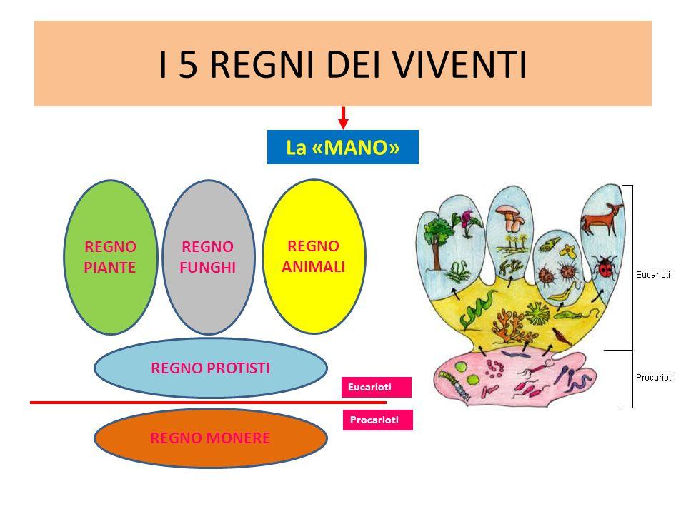 I 5 REGNI DEI VIVENTI REGNO MONERE REGNO PIANTE REGNO PROTISTI REGNO FUNGHI REGNO ANIMALI Procarioti Eucarioti La «MANO»