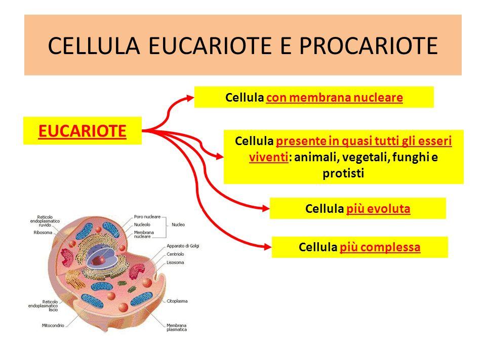 CELLULA EUCARIOTE E PROCARIOTE EUCARIOTE Cellula più evoluta Cellula più complessa Cellula con membrana nucleare Cellula presente in quasi tutti gli e