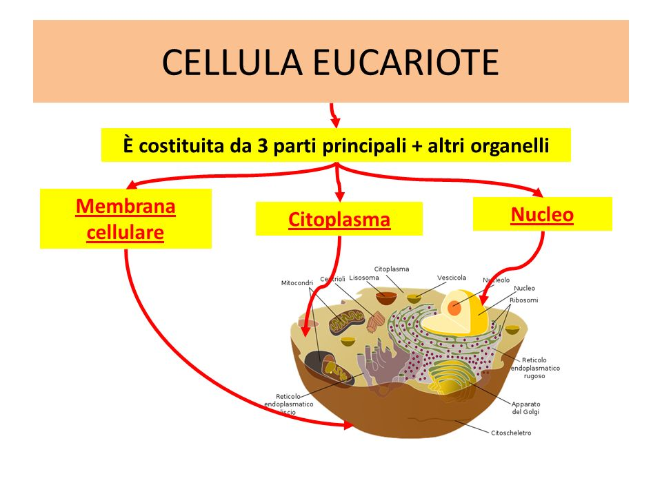 CELLULA EUCARIOTE Membrana cellulare è il «sacchetto» che contiene la cellula Cellula Reticolo endoplasmatico è lautostrada della cellula (sistema di comunicazione) Citoplasma riempie la cellula ed è una specie di gelatina (acqua, sali minerali ecc.) Immersi nel citoplasma si trovano, oltre al reticolo endoplasmatico, vari organuli Nucleo, avvolto dalla membrana nucleare, è il centro direttivo della cellula
