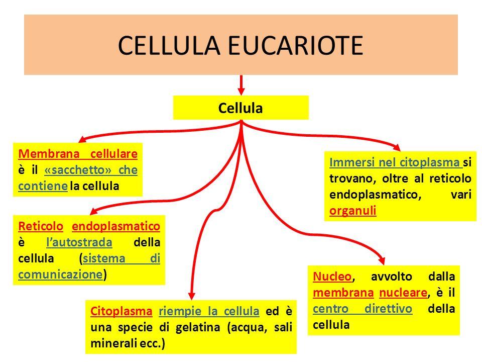 CELLULA EUCARIOTE Membrana cellulare è il «sacchetto» che contiene la cellula Cellula Reticolo endoplasmatico è lautostrada della cellula (sistema di