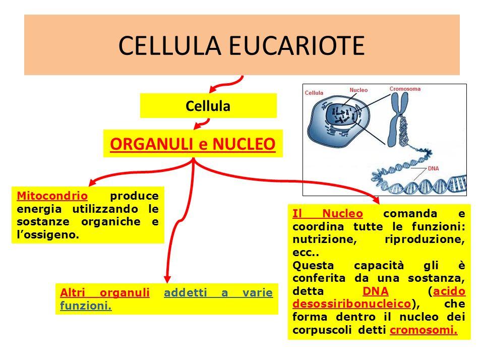 CELLULA EUCARIOTE ORGANULI e NUCLEO Cellula Mitocondrio produce energia utilizzando le sostanze organiche e lossigeno. Altri organuli addetti a varie