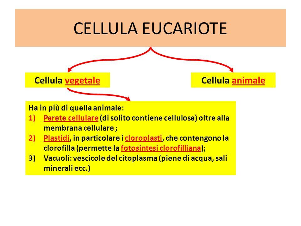 CELLULA EUCARIOTE Cellula animale Ha in più di quella animale: 1)Parete cellulare (di solito contiene cellulosa) oltre alla membrana cellulare ; 2)Pla