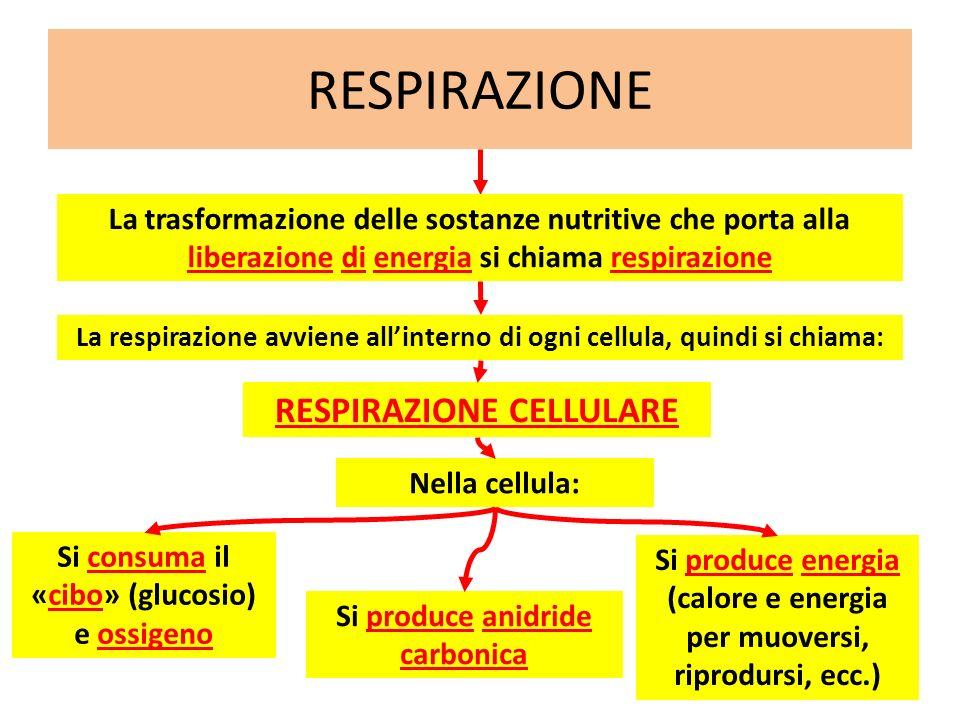 RESPIRAZIONE La respirazione avviene allinterno di ogni cellula, quindi si chiama: La trasformazione delle sostanze nutritive che porta alla liberazio