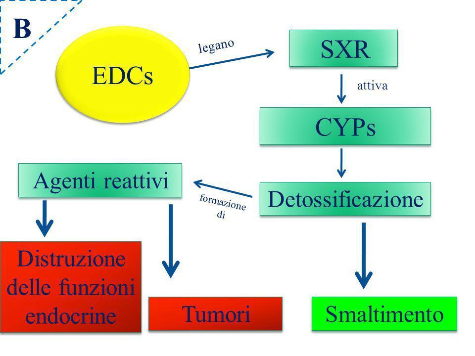 SXR CYPs Detossificazione Agenti reattivi Distruzione delle funzioni endocrine Tumori attiva legano formazione di Smaltimento ECDs EDCs B