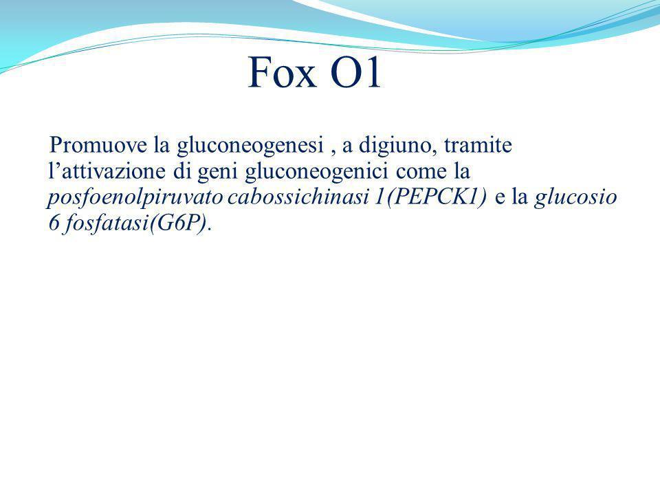 Fox O1 Promuove la gluconeogenesi, a digiuno, tramite lattivazione di geni gluconeogenici come la posfoenolpiruvato cabossichinasi 1(PEPCK1) e la gluc
