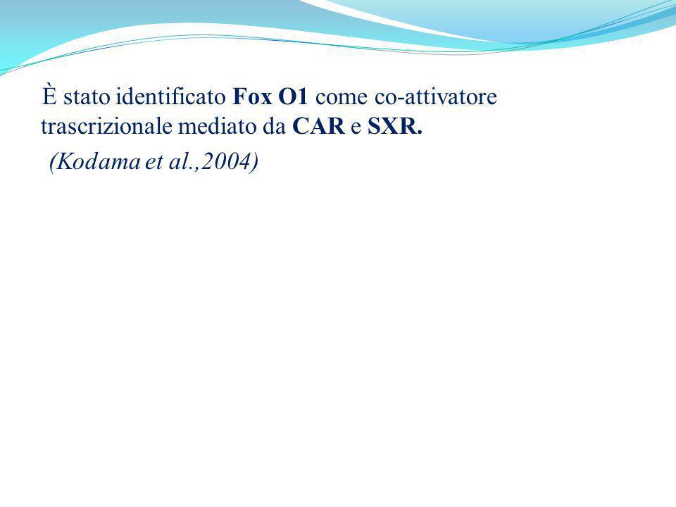 È stato identificato Fox O1 come co-attivatore trascrizionale mediato da CAR e SXR. (Kodama et al.,2004)
