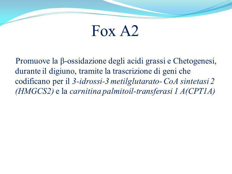 Fox A2 Promuove la β-ossidazione degli acidi grassi e Chetogenesi, durante il digiuno, tramite la trascrizione di geni che codificano per il 3-idrossi