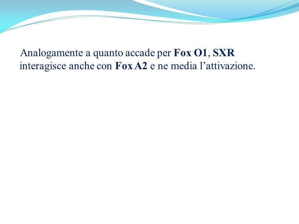 Analogamente a quanto accade per Fox O1, SXR interagisce anche con Fox A2 e ne media lattivazione.