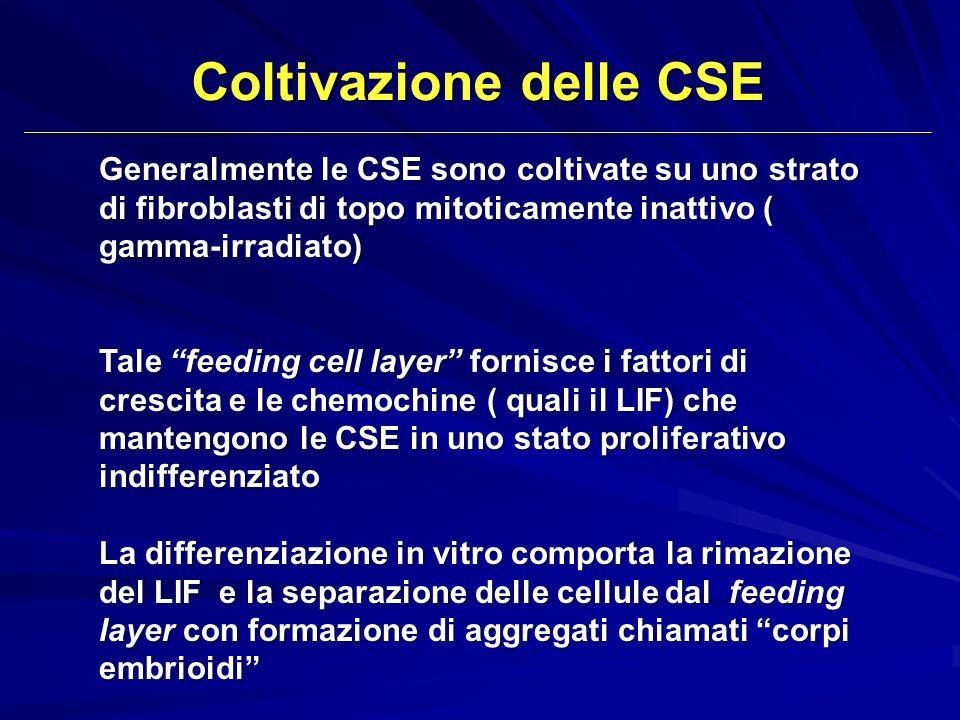 Coltivazione delle CSE Generalmente le CSE sono coltivate su uno strato di fibroblasti di topo mitoticamente inattivo ( gamma-irradiato) Tale feeding