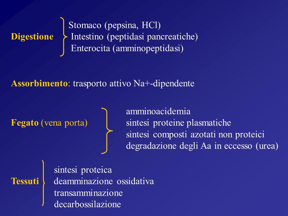 Assorbimento: trasporto attivo Na+-dipendente Stomaco (pepsina, HCl) Digestione Intestino (peptidasi pancreatiche) Enterocita (amminopeptidasi) amminoacidemia Fegato (vena porta) sintesi proteine plasmatiche sintesi composti azotati non proteici degradazione degli Aa in eccesso (urea) sintesi proteica Tessuti deamminazione ossidativa transamminazione decarbossilazione