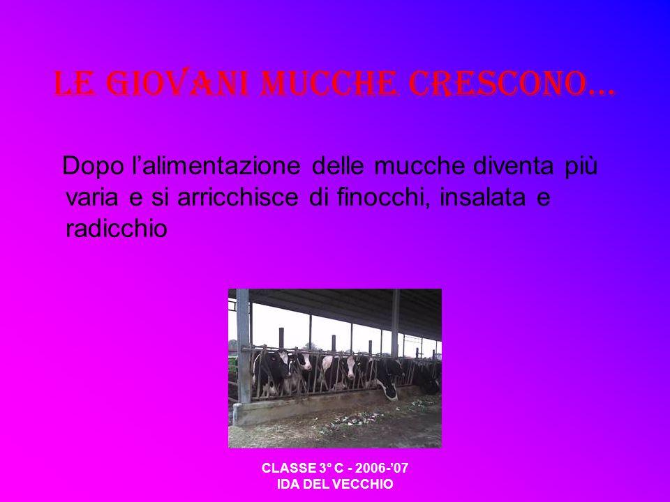 CLASSE 3° C - 2006-07 IDA DEL VECCHIO Le giovani mucche crescono… Dopo lalimentazione delle mucche diventa più varia e si arricchisce di finocchi, ins