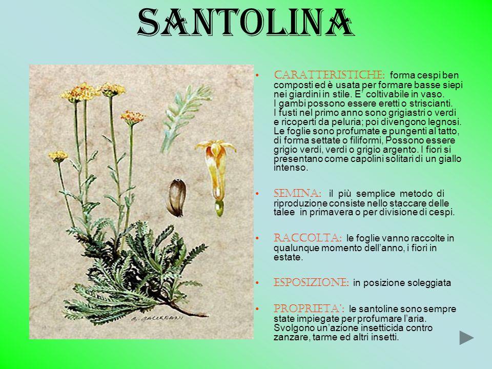 santolina CARATTERISTICHE: forma cespi ben composti ed è usata per formare basse siepi nei giardini in stile. E coltivabile in vaso. I gambi possono e