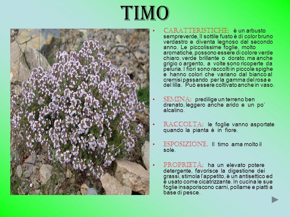 TIMO CARATTERISTICHE: è un arbusto sempreverde, Il sottile fusto è di color bruno verdastro e diventa legnoso dal secondo anno. Le piccolissime foglie