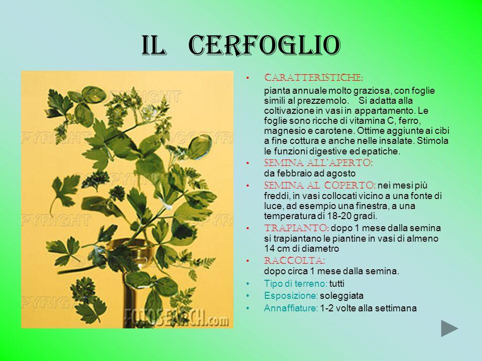 Il cerfoglio Caratteristiche: pianta annuale molto graziosa, con foglie simili al prezzemolo. Si adatta alla coltivazione in vasi in appartamento. Le