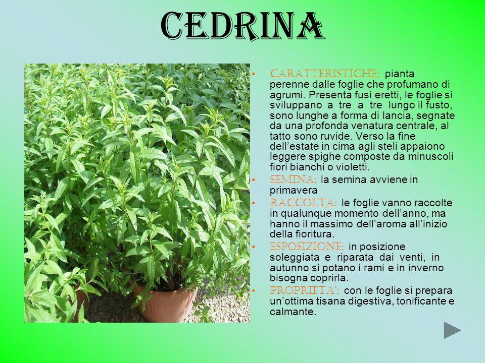 CEDRINA CARATTERISTICHE: pianta perenne dalle foglie che profumano di agrumi. Presenta fusi eretti, le foglie si sviluppano a tre a tre lungo il fusto