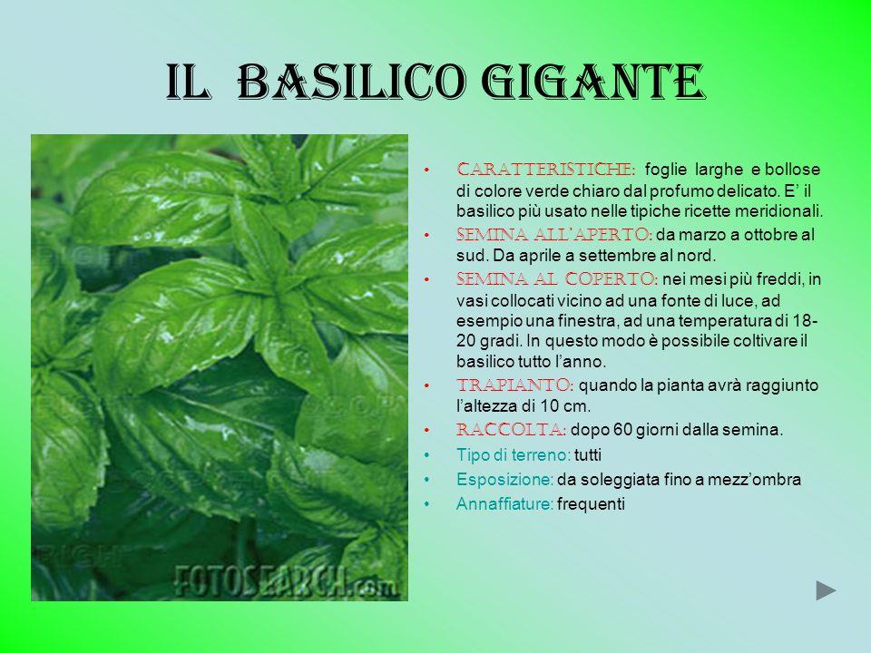 Il basilico GIGANTE Caratteristiche: foglie larghe e bollose di colore verde chiaro dal profumo delicato. E il basilico più usato nelle tipiche ricett