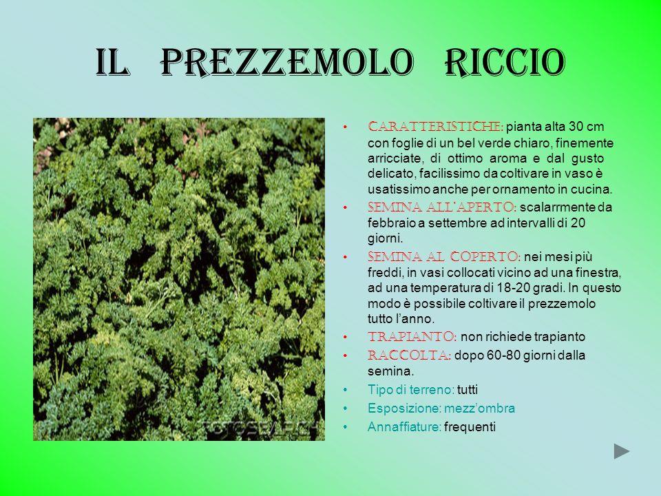 Il prezzemolo riccio Caratteristiche: pianta alta 30 cm con foglie di un bel verde chiaro, finemente arricciate, di ottimo aroma e dal gusto delicato,