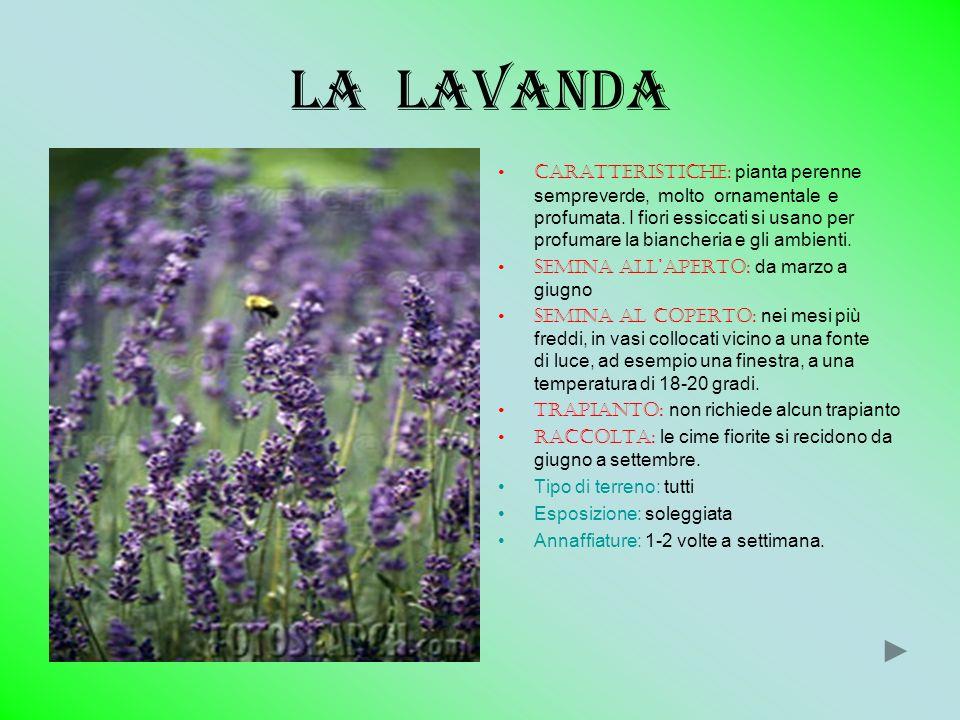 La lavanda Caratteristiche: pianta perenne sempreverde, molto ornamentale e profumata. I fiori essiccati si usano per profumare la biancheria e gli am