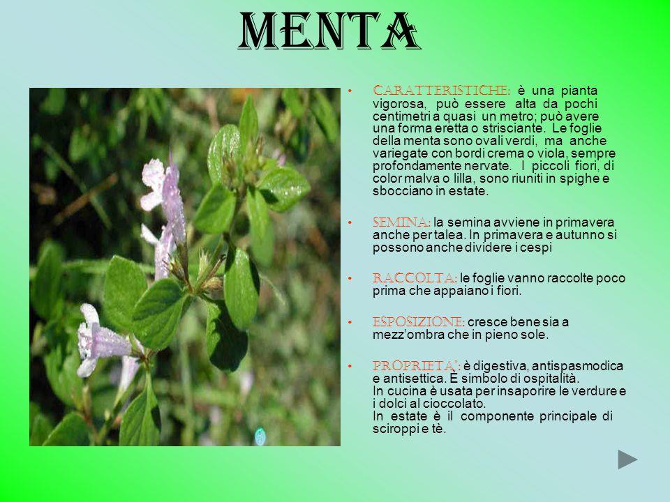 MENTA CARATTERISTICHE: è una pianta vigorosa, può essere alta da pochi centimetri a quasi un metro; può avere una forma eretta o strisciante. Le fogli