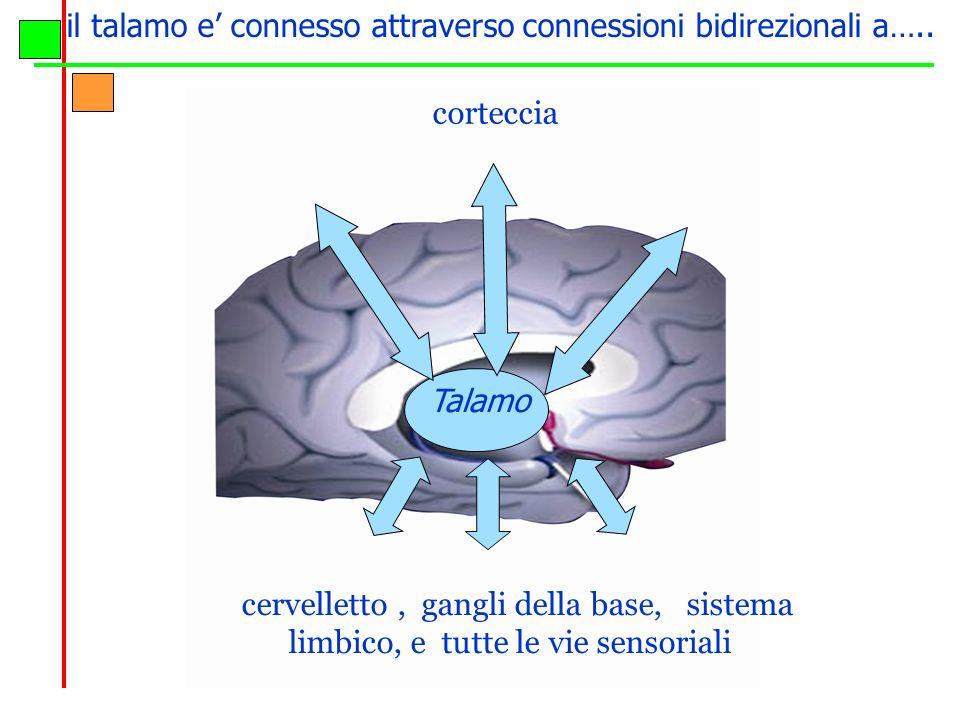 il talamo e connesso attraverso connessioni bidirezionali a….. cervelletto, gangli della base, sistema limbico, e tutte le vie sensoriali Talamo corte