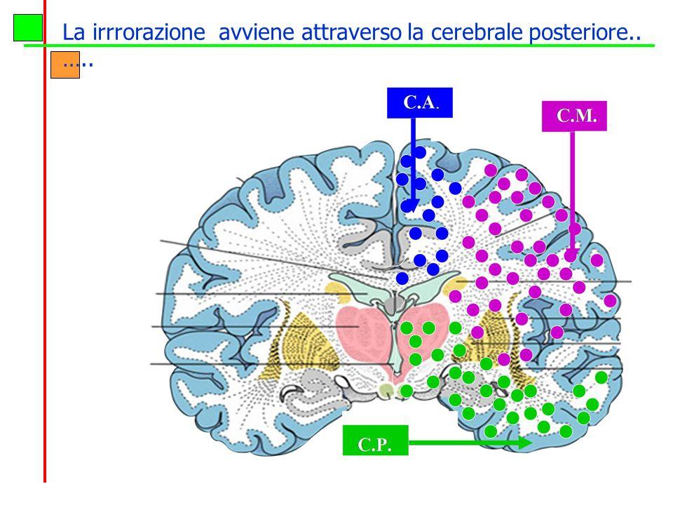 La irrrorazione avviene attraverso la cerebrale posteriore.. …..