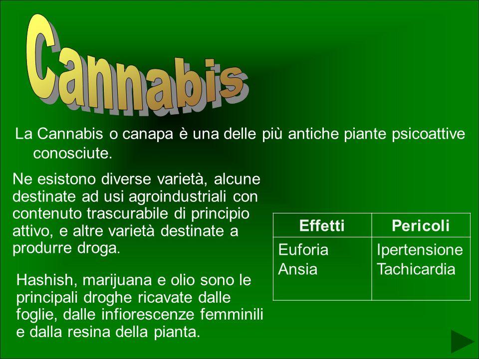 La Cannabis o canapa è una delle più antiche piante psicoattive conosciute.