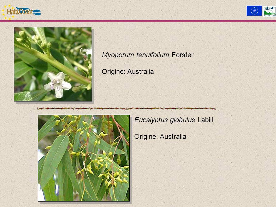 Myoporum tenuifolium Forster Origine: Australia Eucalyptus globulus Labill. Origine: Australia