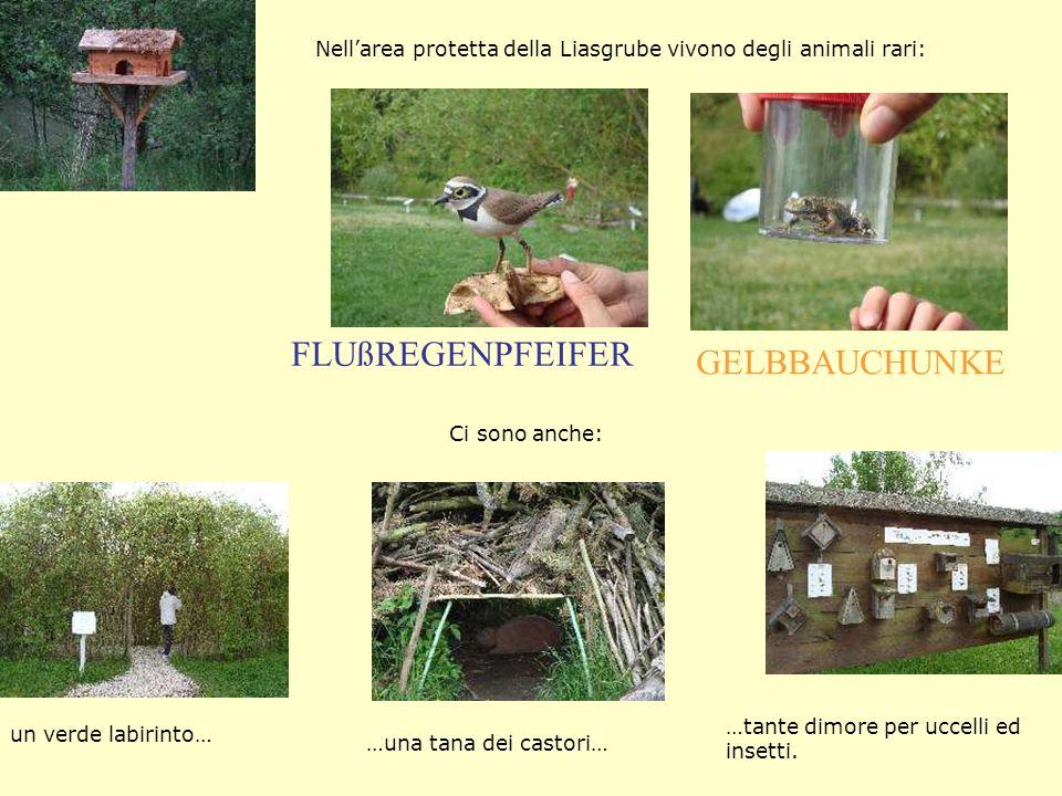 FLUßREGENPFEIFER GELBBAUCHUNKE Nellarea protetta della Liasgrube vivono degli animali rari: un verde labirinto… …una tana dei castori… …tante dimore per uccelli ed insetti.