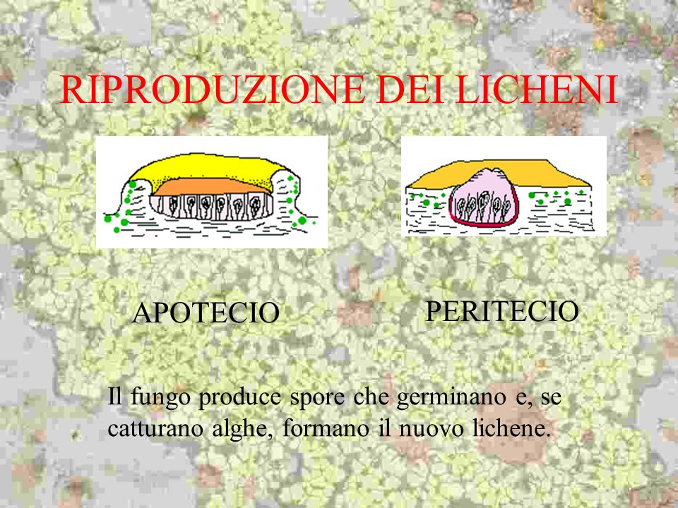 RIPRODUZIONE DEI LICHENI APOTECIO PERITECIO Il fungo produce spore che germinano e, se catturano alghe, formano il nuovo lichene.