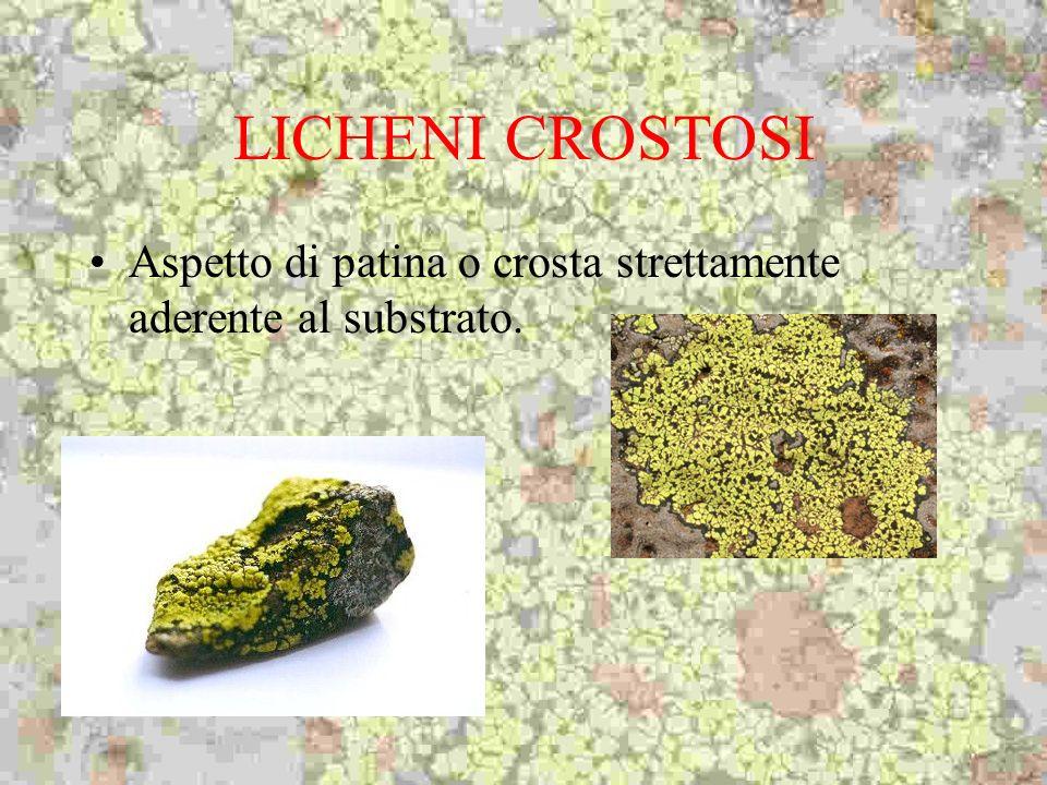 LICHENI CROSTOSI Aspetto di patina o crosta strettamente aderente al substrato.