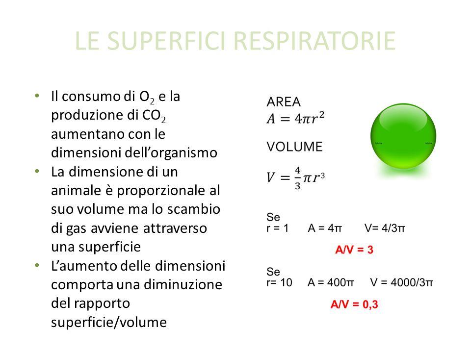 LE SUPERFICI RESPIRATORIE Il consumo di O 2 e la produzione di CO 2 aumentano con le dimensioni dellorganismo La dimensione di un animale è proporzionale al suo volume ma lo scambio di gas avviene attraverso una superficie Laumento delle dimensioni comporta una diminuzione del rapporto superficie/volume