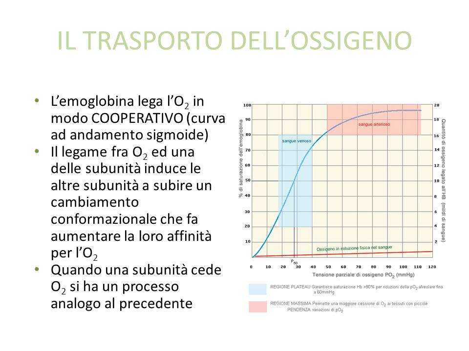 IL TRASPORTO DELLOSSIGENO Lemoglobina lega lO 2 in modo COOPERATIVO (curva ad andamento sigmoide) Il legame fra O 2 ed una delle subunità induce le altre subunità a subire un cambiamento conformazionale che fa aumentare la loro affinità per lO 2 Quando una subunità cede O 2 si ha un processo analogo al precedente