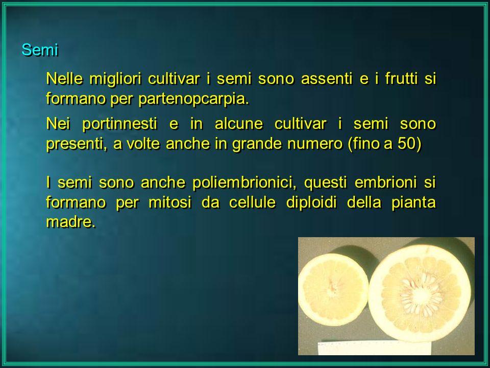 Semi Nelle migliori cultivar i semi sono assenti e i frutti si formano per partenopcarpia. Nei portinnesti e in alcune cultivar i semi sono presenti,