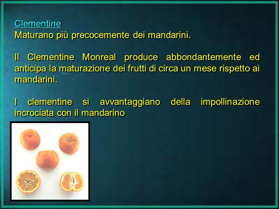 Clementine Maturano più precocemente dei mandarini. Il Clementine Monreal produce abbondantemente ed anticipa la maturazione dei frutti di circa un me