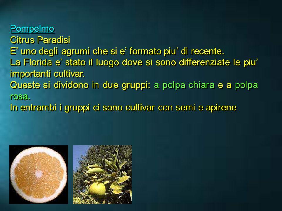 Pompelmo Citrus Paradisi E uno degli agrumi che si e formato piu di recente. La Florida e stato il luogo dove si sono differenziate le piu importanti