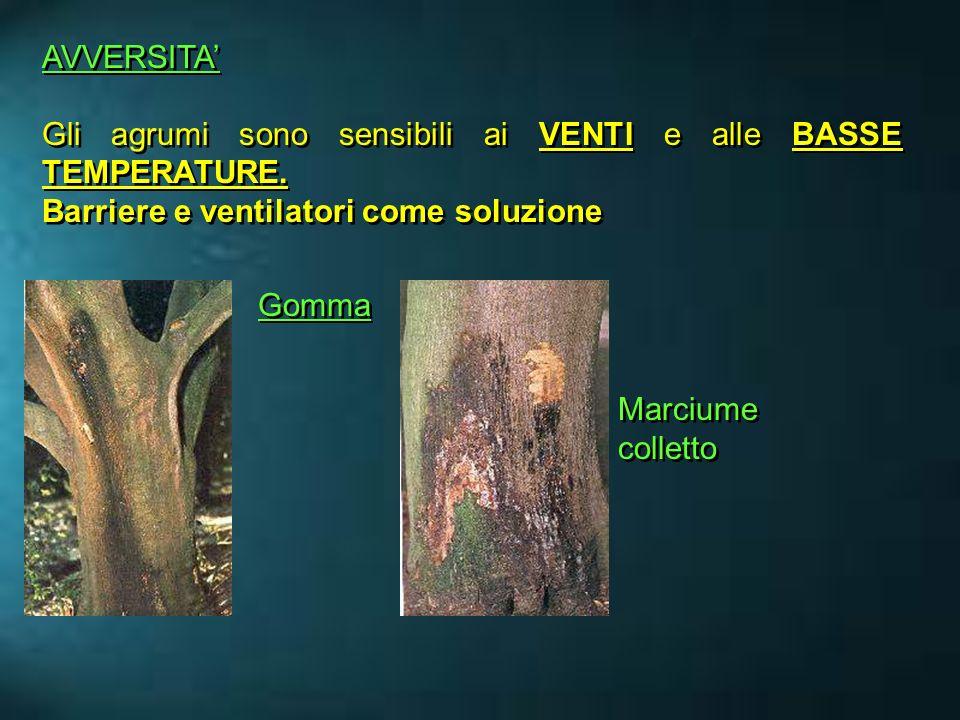 AVVERSITA Gli agrumi sono sensibili ai VENTI e alle BASSE TEMPERATURE. Barriere e ventilatori come soluzione AVVERSITA Gli agrumi sono sensibili ai VE
