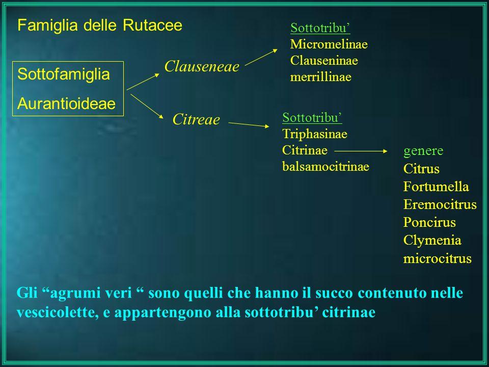 Famiglia delle Rutacee Clauseneae Citreae Sottofamiglia Aurantioideae Sottotribu Micromelinae Clauseninae merrillinae Sottotribu Triphasinae Citrinae